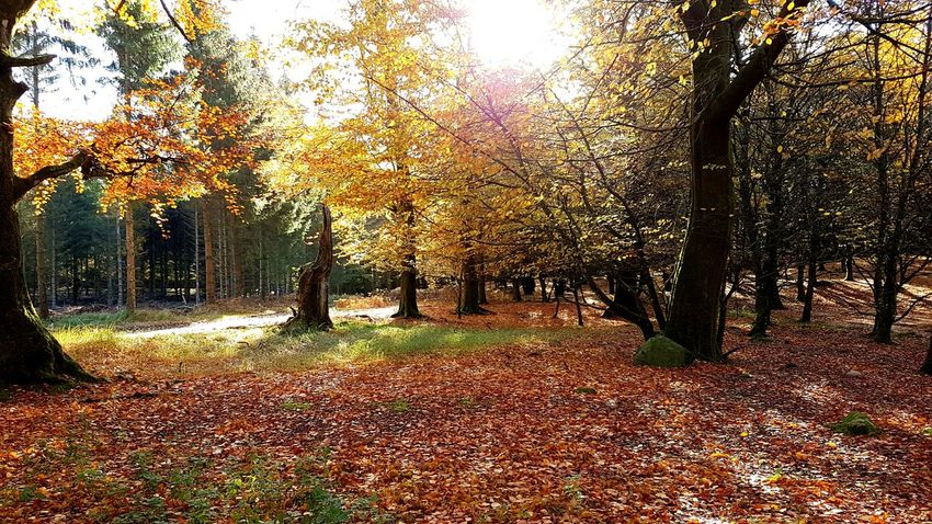 Autumn in the forrest🍁 Nature Sunlight No People Outdoors Nature Photography Walking Woods Denmark Forrest Yellow Leaves