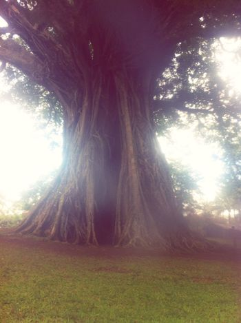 5 Centuries Old Local Tree Nature Tranquility Travel EyeEmNewHere The Week On EyeEm