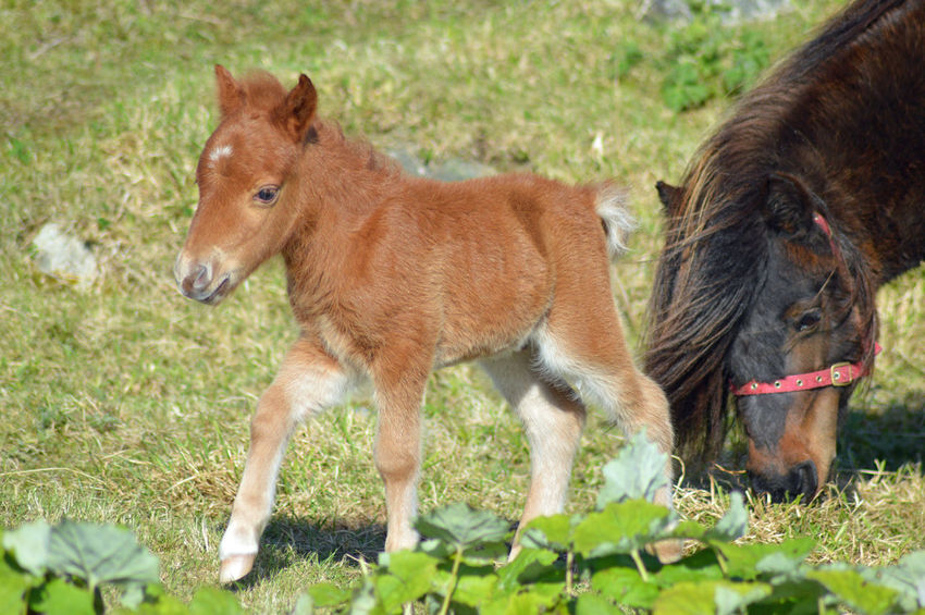 Baby EyEmNewHere Love Nature Finest Nikon Nikon D3200 Pony Shetland Pony Animal Themes Close-up Day Domestic Animals Eyem Nature Lovers  Eyemphotography Field Grass Mammal Nature Nikon_photography Nikonphotographer Nikonphotography No People Outdoors Parent Standing