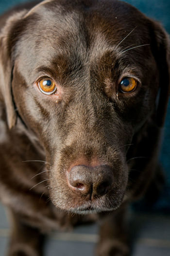 Portrait of chocolate labrador