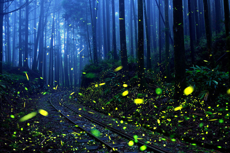 Bamboo - Plant Bamboo Grove Beauty In Nature Dancing Firefly Fluorescent Forest Growth Insect Life Light Natural Nature Night No People Observed Outdoors Plant Point Railway Shiny Sky Tranquility Travel Tree