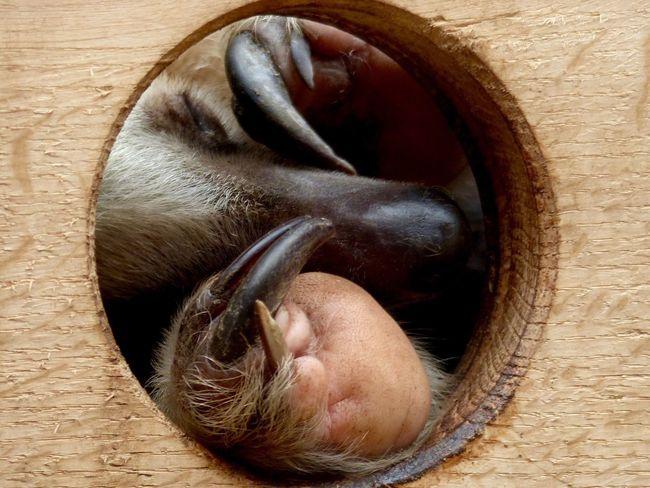 One Animal Indoors  Animal Themes Close-up Mammal No People Day Sloth Sleeping Sleeping Sloth