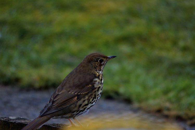 Song Thrush Bird Photography Birds Of EyeEm  Nature On Your Doorstep Nature Photography Song Thrush SongThrush Birds_collection Nature_collection Naturephotography