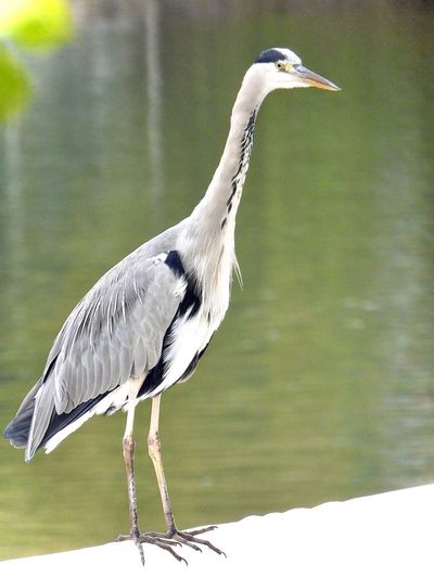 Airone Bird