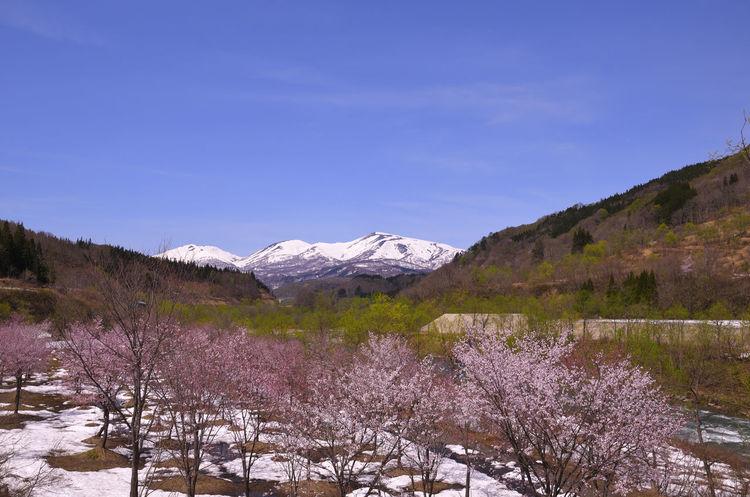 Cherry Blossom Snow Mountain Sakura Blue Sky Drive Gassan Japan Landscape