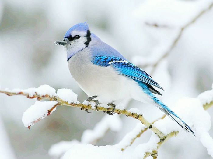 Close-up of blue jay perching on twig during winter