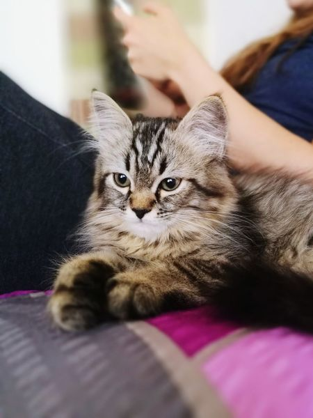 Domestic Cat Pets Domestic Animals Indoors  Feline Animal One Animal Tabby Cat Animal Themes One Person Selective Focus Adult Mammal People Adults Only Domestic Life Only Women Kitten Portrait Day Maine Coon Cat TabbyCat Tabbycatlovers Tabbylove Tabby Cat