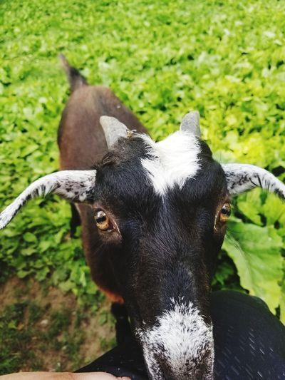 Portrait Goat