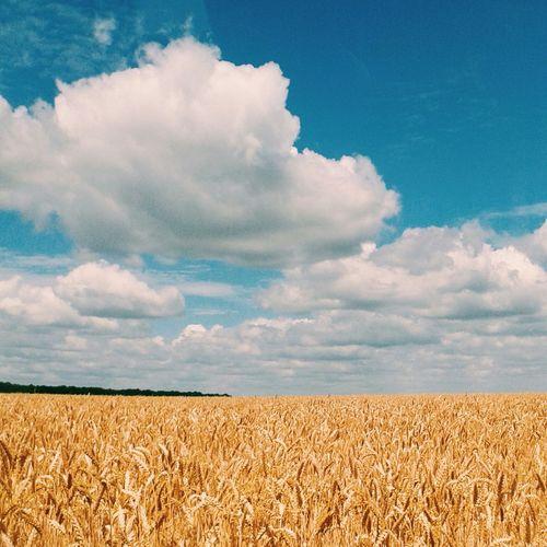 небо⛅️ облака👍 зерна поля пшеница Украина♥