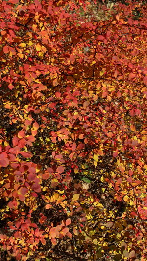 Full frame shot of maple leaves