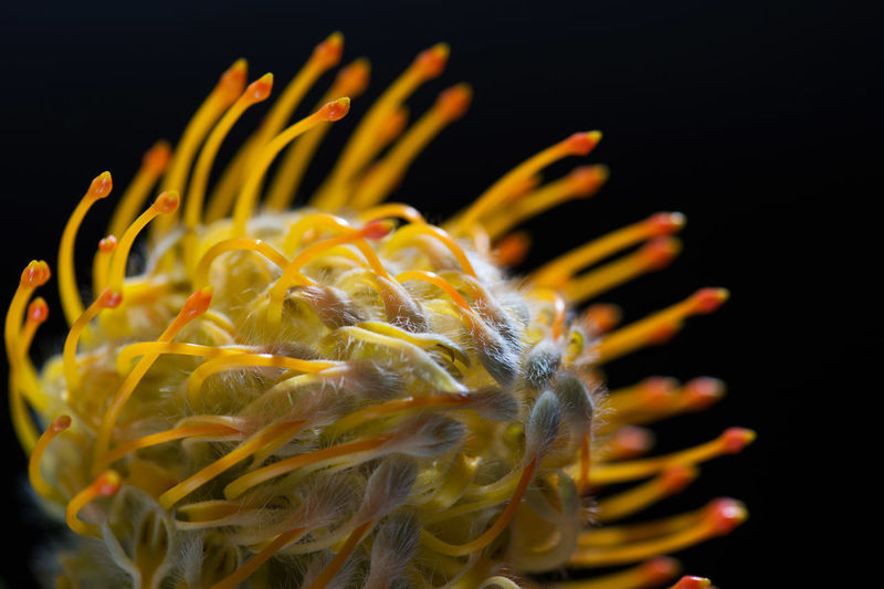 Close-up african exotic flower protea