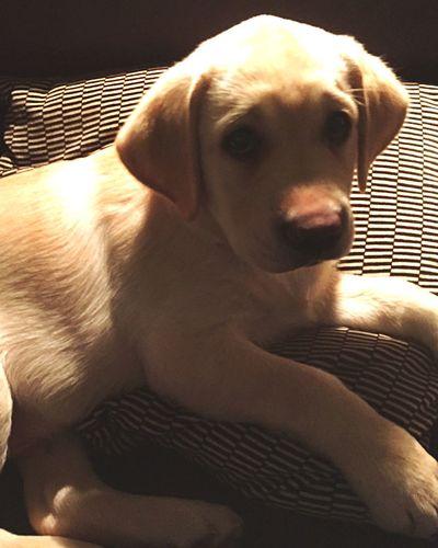 Sunlit puppy Labrador Puppy I Love My Dog Miltonbiscuit