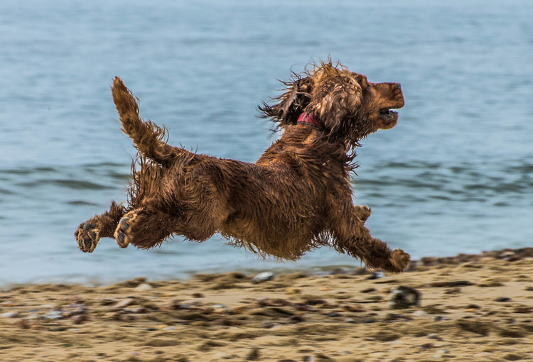 Leaping into the air, this canine is clearly enjoying a good time on Bournemouth beach on the south coast of England Bournemouth Animal Animal Themes Beach Bournemouth Beach Canine Dog Domestic Animals Motion One Animal Outdoors Pets Running Sea Water