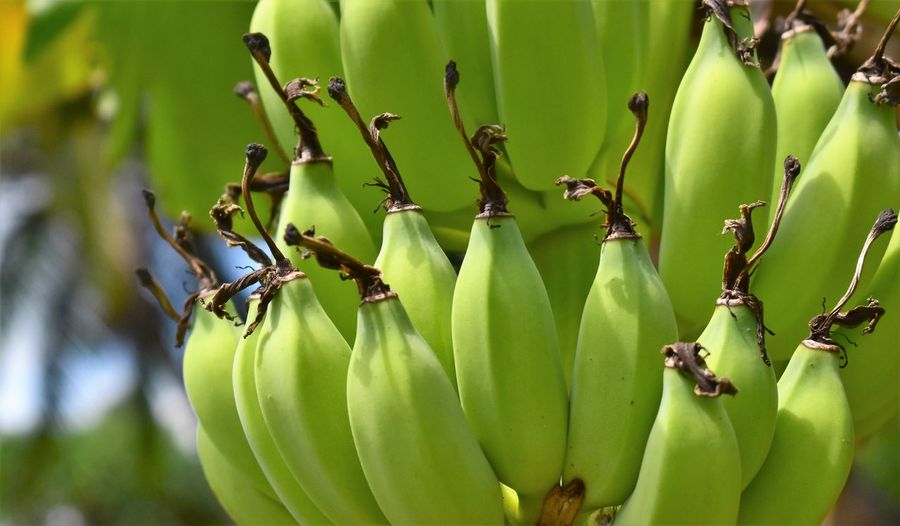 Banane Banana Banana Tree Beauty In Nature Close-up Day Focus On Foreground Food Food And Drink Freshness Fruit Green Color Growth Grüne Banane Healthy Eating Leaf Nature No People Outdoors Plant Ripe Tree Wellbeing