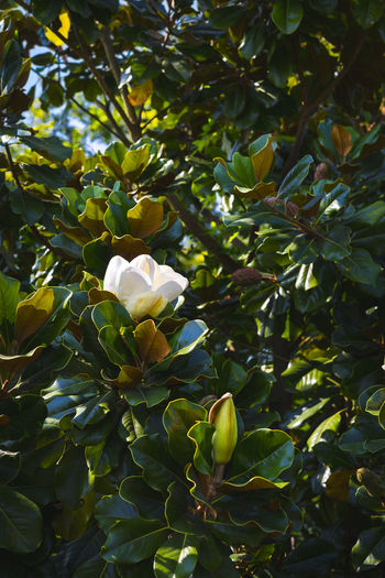 Magnolia Magnolia Magnolia Flower Magnolia Tree Beauty In Nature Close-up Day Flower Flowering Plant Leaf Nature No People Outdoors Plant Plant Part Tree