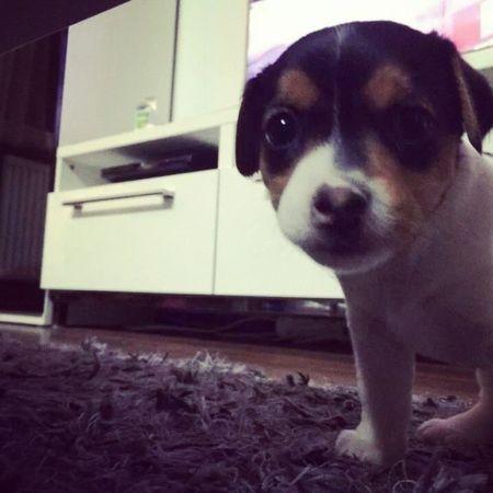 Zara Jackrusselterrier Puppy BIGLOVE
