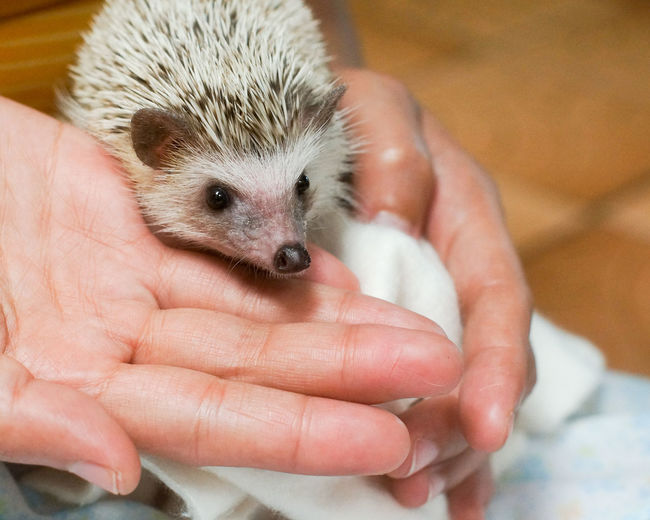Close-Up Of Cropped Hand Holding Hedgehog At Home