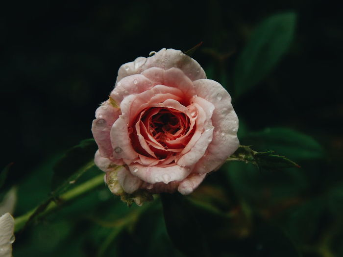 Soft morning Rosé Pink Pink Color Garden Nature Green Soft Vintage Natural Beauty Flower Head Flower Peony  Rose - Flower Petal Close-up Plant Pale Pink Wild Rose In Bloom Plant Life Blooming Softness Blossom Rose Petals Flowering Plant