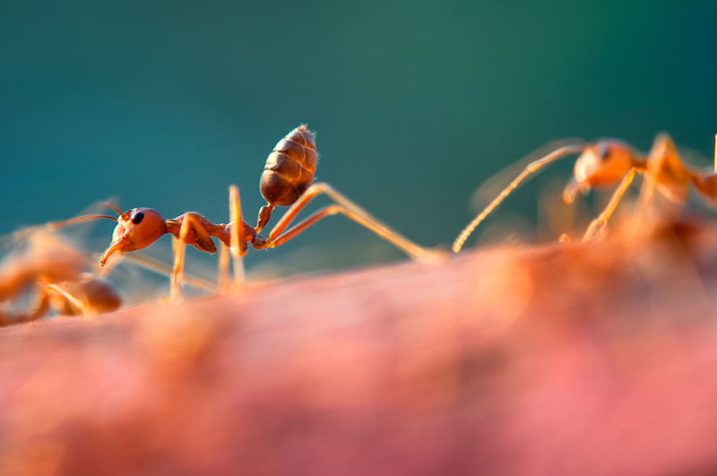 Giant red ant