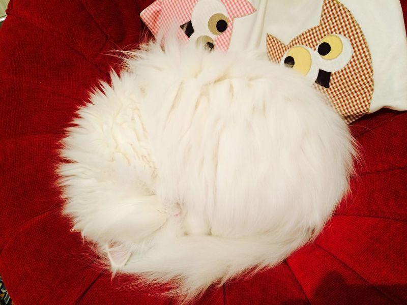 Hello World Persian Cat  Cat Relaxing