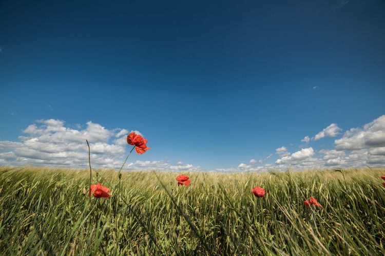 Beauty In Nature Blue Cloud Cloud - Sky Day Field Flower Grass Grassy Green Color Growth Horizon Over Land Landscape Multi Colored Nature Non-urban Scene Outdoors Plant Rural Scene Scenics Sky Tranquil Scene Tranquility