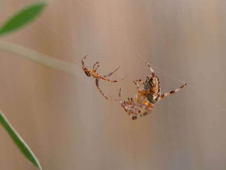 Spider Encounter Animal Behavior Animals In The Wild Struggle For Life No People From My Point Of View Arachnid Outdoors Animals Macro Nature Animal Encounters Animal Themes Close-up Close Up Taking Photos Nature On Your Doorstep Encounter Nature Fragility Ladyphotographerofthemonth