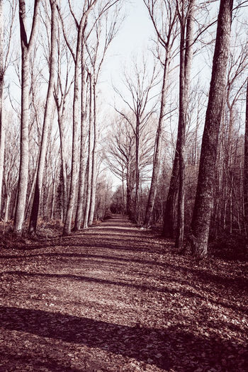 Footpath amidst bare trees in forest