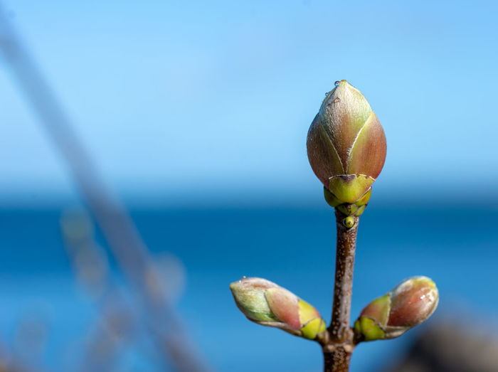 Close-up of flower buds against blue sky