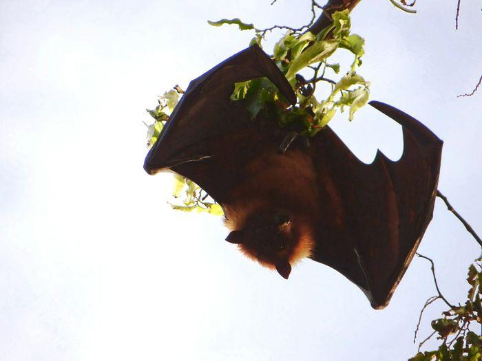Hung Bat Bat