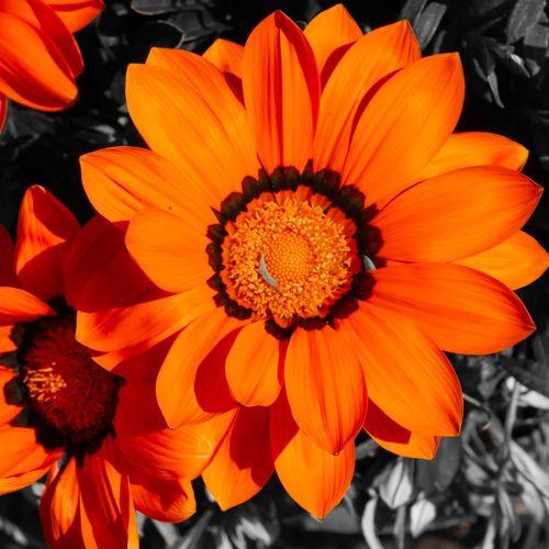 Close-up of orange gerbera daisy