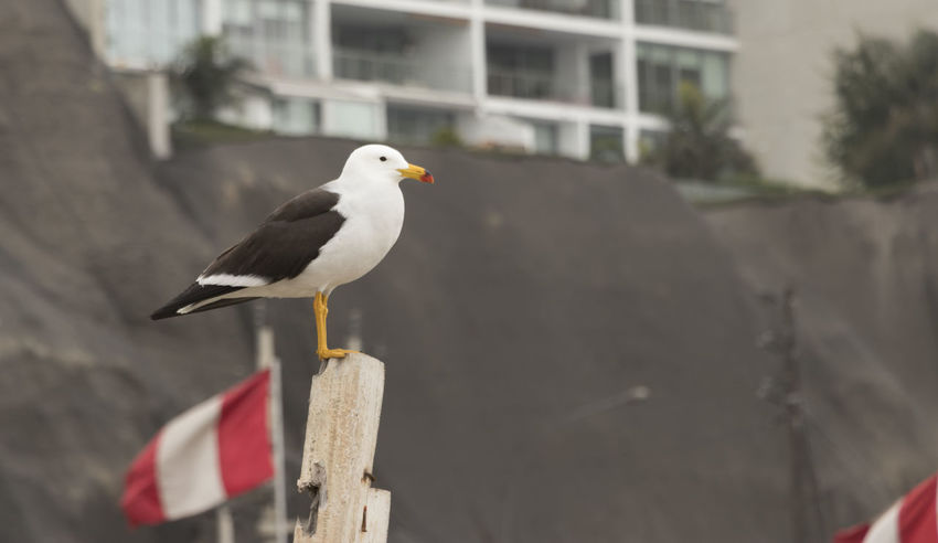 gaviota Posada sobre un poste Seagull Flag Peru Bird Beauty Coast EyeEm Selects Bird Animal Wildlife One Animal Perching Animals In The Wild No People Day Animal Themes Close-up Outdoors Nature Bird Of Prey