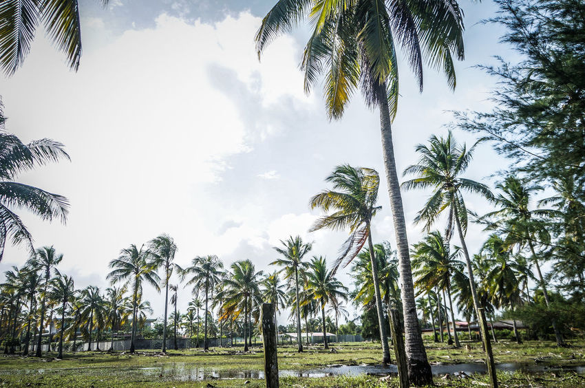 Coconut tree Beauty In Nature Cloud - Sky Coconut Farm Day Growth Kampunglumbung Low Angle View Nature No People Outdoors Sky Tree
