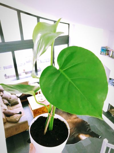 Monstera Leaf Indoors  Green Color Table Plant No People Close-up