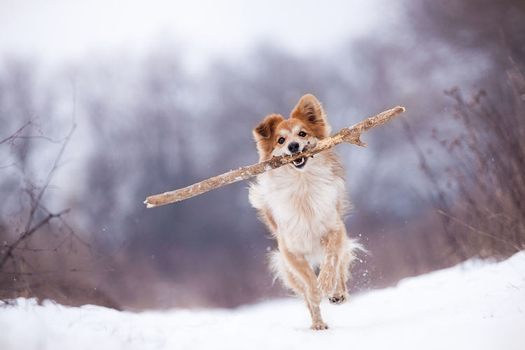 Dog Holding Stick In Mouth On Snow Covered Field