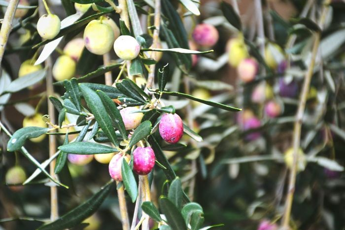 Growth Close-up Freshness Nature Focus On Foreground No People Outdoors Beauty In Nature Tree Day Nature Taking Photos Olive Tree Olives Tree Light And Shadow