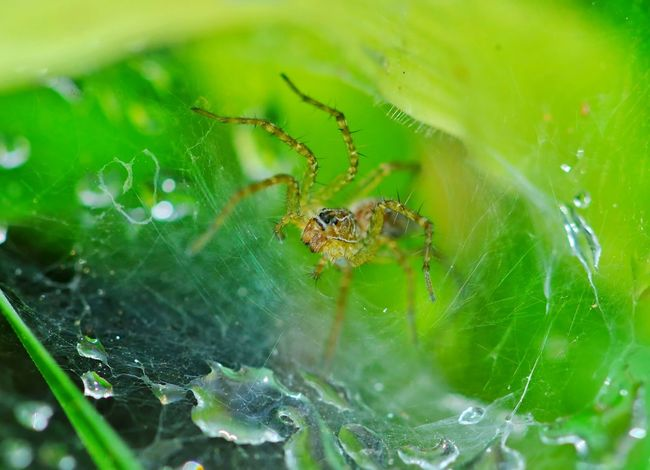 Spider in its wet web Macro_collection Macro Beauty Macro Nature Green Color Arachnid Photography Arachnid Dew Wet Web One Animal Spider Spider Web Animal Themes Animals In The Wild Green Color Close-up Web No People Nature Outdoors Animal Wildlife Beauty In Nature Day Leaf