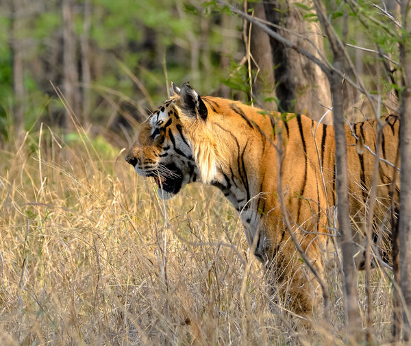Tiger Threatened Species