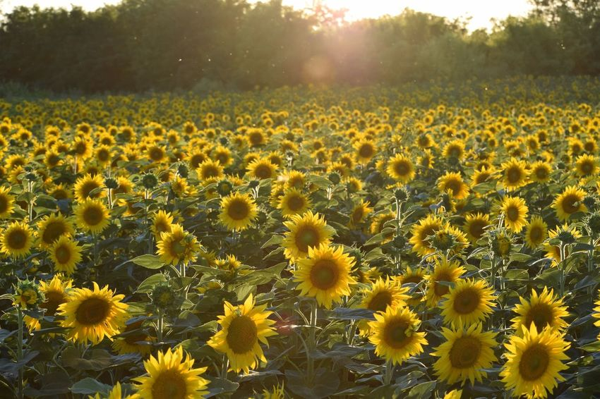 Plant Flower Flowering Plant Beauty In Nature Freshness Growth Field Inflorescence Rural Scene Vulnerability  No People Landscape Sunflower Fragility Tranquility Flower Head Nature Land Sunlight Yellow A New Beginning EyeEmNewHere