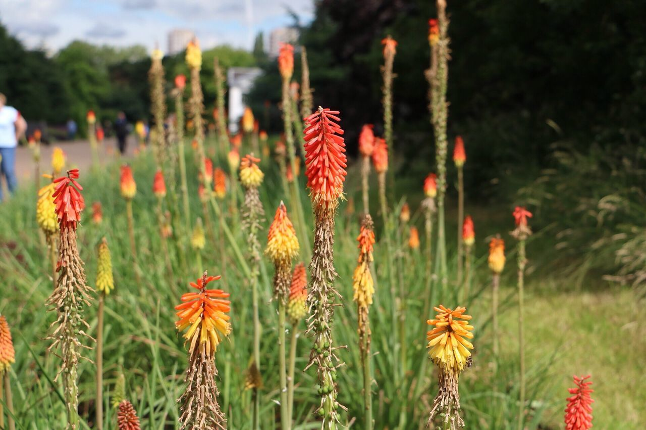growth, flower, plant, nature, focus on foreground, beauty in nature, outdoors, day, freshness, no people, fragility, red, close-up, flower head