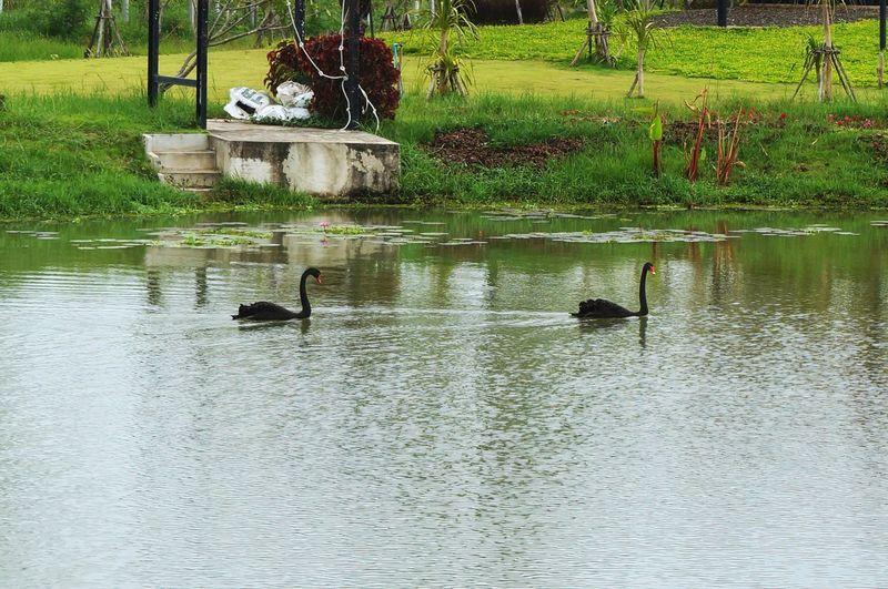 Black swans Animal Themes Lake Outdoors Swan