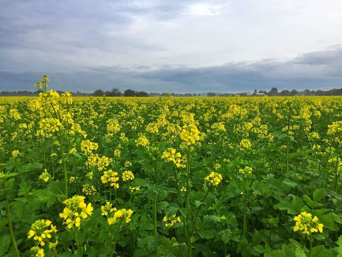 Yellow Flower Growth Oilseed Rape Agriculture Nature Field Crop  Beauty In Nature Tranquility Farm Cultivated Land Mustard Plant Tranquil Scene Scenics Rural Scene Day Plant Fragility Sky