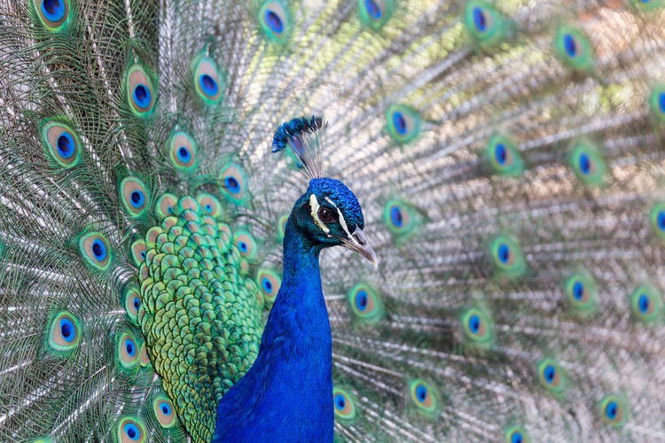 Peacock Peacock Feather Bird Blue One Animal Animal Wildlife Animal Themes Fanned Out Feather  Beauty In Nature Animals In The Wild Close-up Multi Colored Outdoors Nature No People Day