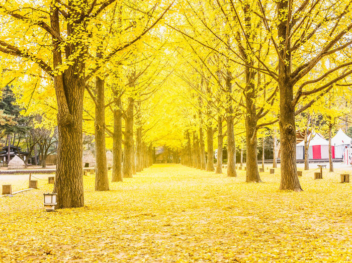Row of yellow ginkgo tree in Nami Island, Korea Autumn Autumn Collection Beauty In Nature Change Day Diminishing Perspective Direction Footpath Land Leaf Nature No People Outdoors Park Plant Plant Part The Way Forward Tranquil Scene Tranquility Tree Treelined Yellow