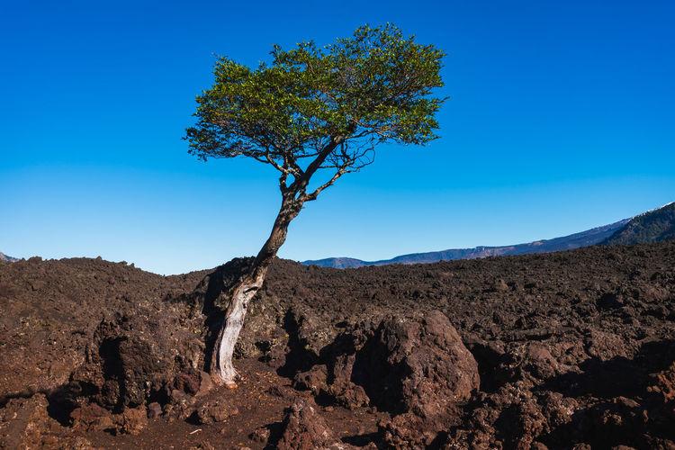 Tree on rocks against clear blue sky