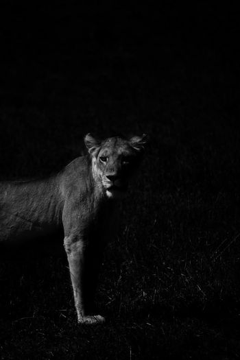 Lioness standing on field at night