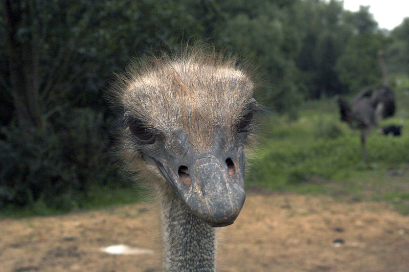 Close-up of ostrich on field