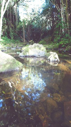 Nuuanu Stream jackass ginger Oahu, Hawaii