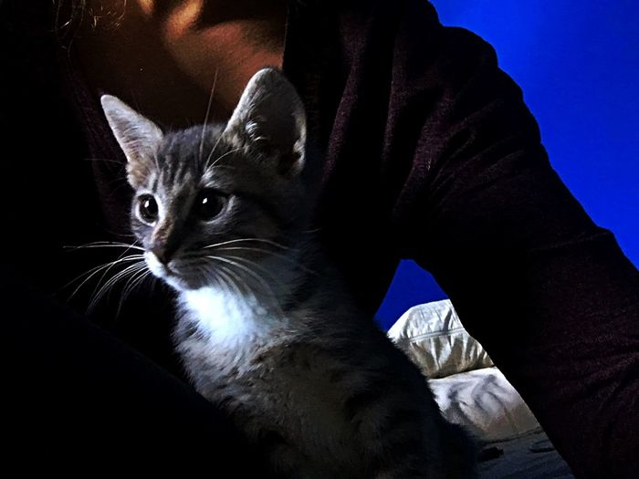 Silver Tabby Kitten Domestic Cat Pets Domestic Animals One Animal Feline Mammal Sitting Indoors  Whisker One Person Close-up Day People EyeEm Ready   AI Now EyeEmNewHere