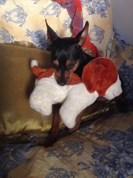 Miniature Pinscher Dog I Love My Dog Pinscher Luna coniglietto❤️❤️❤️❤️❤️❤️❤️❤️❤️❤️ Zwergpinscher