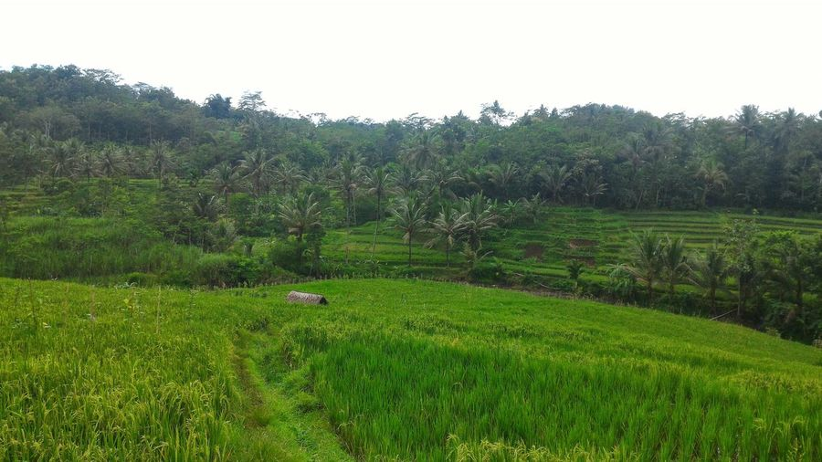 Adapted To The City Green Color Nature Grass Tree Beauty In Nature No People Field Landscape Day Sky Growth Outdoors Beauty In Nature Culture Of Indonesia Tree Home Tranquility Tranquil Scene Rural Scene Agriculture Scenics Lush - Description Miles Away